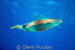 Squid...a fairly rare sighting in Hawaii. Shot this a.m S... by Glenn Poulain